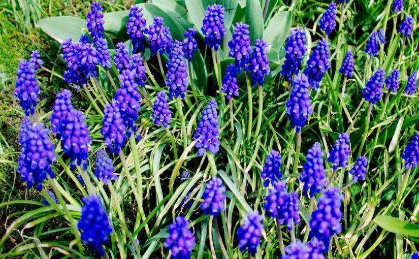 Traubenhyazinthen als Frühlingsblumen