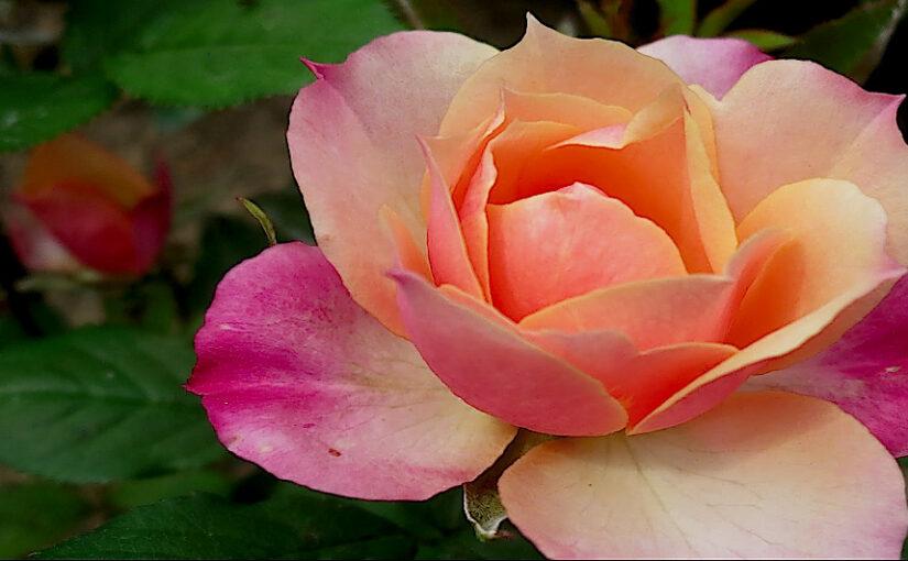 Rosen erfreuen